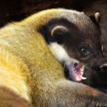 yellow-throated-marten-3244018_1920